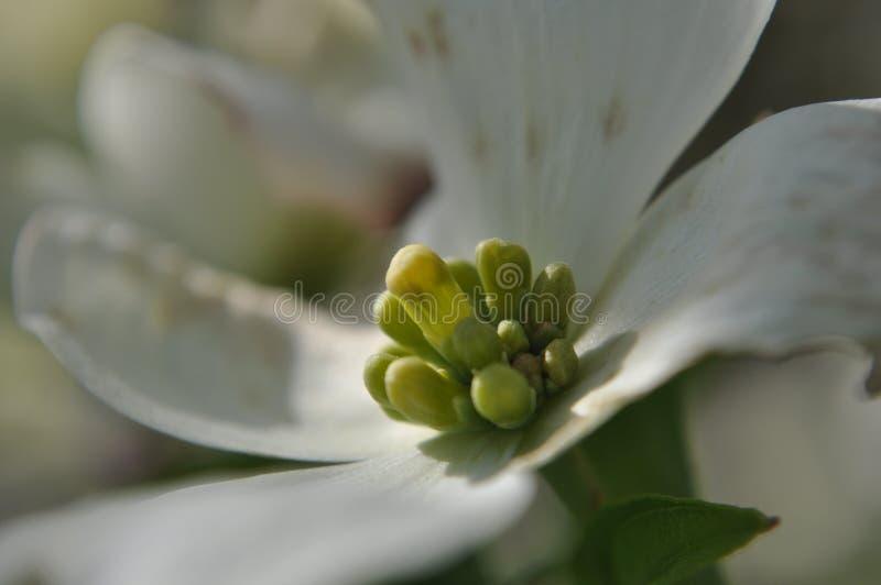 在山茱萸(萸肉佛罗里达)的早期的芽在春天花前涌现 免版税库存照片