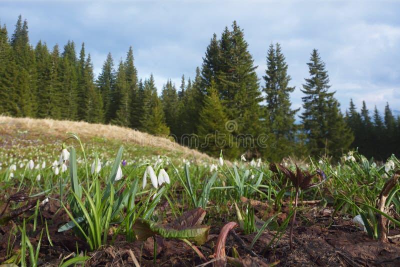 在山草甸的布什白色snowdrops 免版税图库摄影