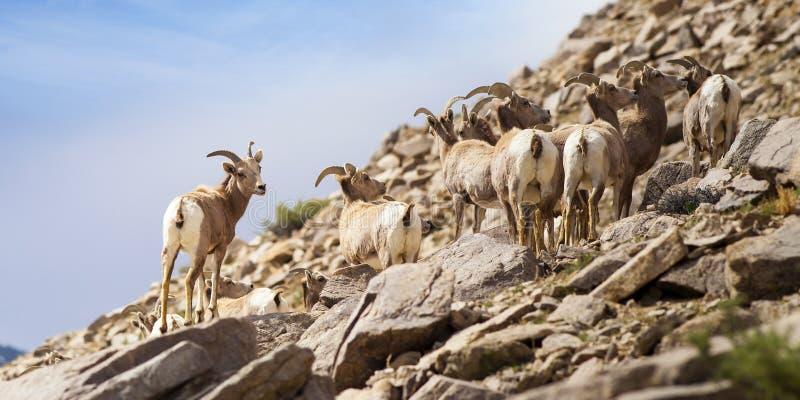 在山边的大角野绵羊 库存照片