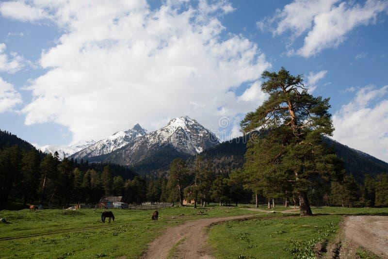 在山附近的单独杉木 库存图片