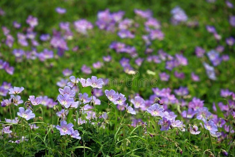 在山附近的紫色野花领域在北印度 图库摄影