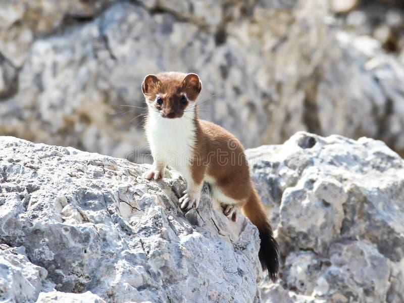 在山顶的白鼬毛皮oshten登上 免版税库存图片