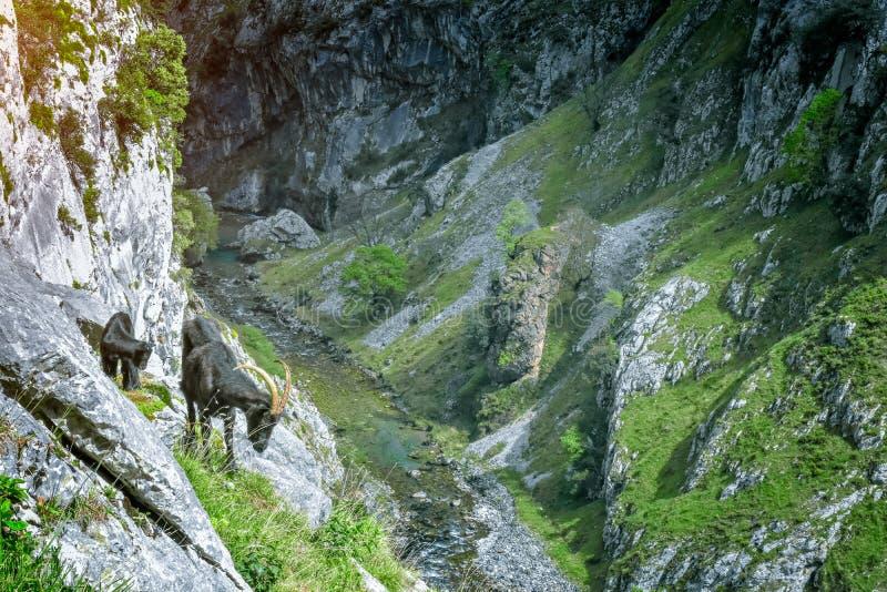 在山风景的山羊 迁徙路线,阿斯图里亚斯的关心 库存照片
