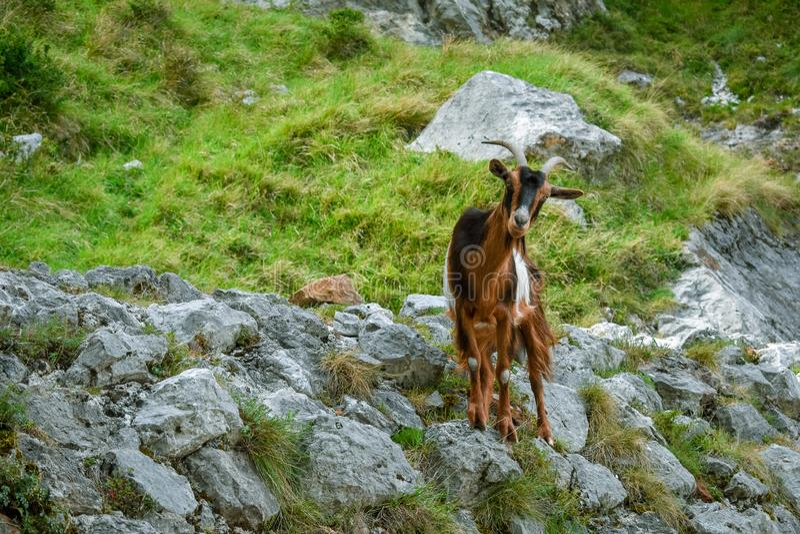 在山风景的山羊 迁徙路线,阿斯图里亚斯的关心 免版税库存照片