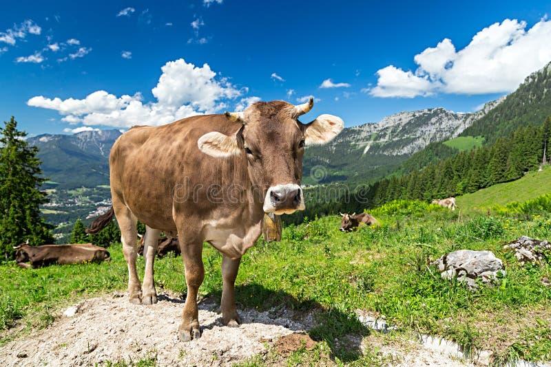 在山风景的布朗母牛 库存图片