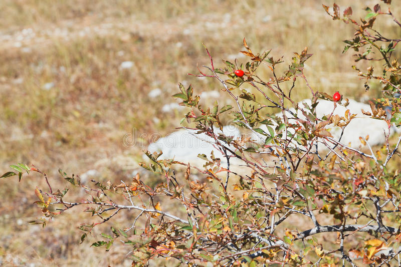 在山高原Ai陪替氏的石南木灌木在克里米亚 免版税库存图片
