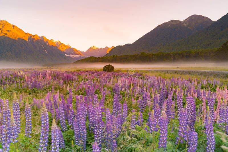 在山,新西兰的凶猛紫色颜色 免版税库存照片