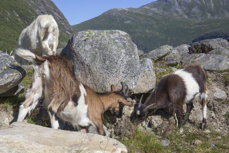 在山, Herdal的农场,挪威的山羊 免版税库存照片