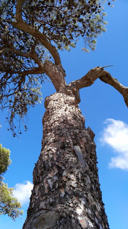 在山Carmel的树 库存照片