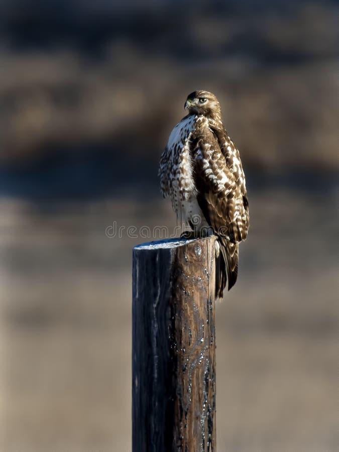 在岗位栖息的鹰。 图库摄影