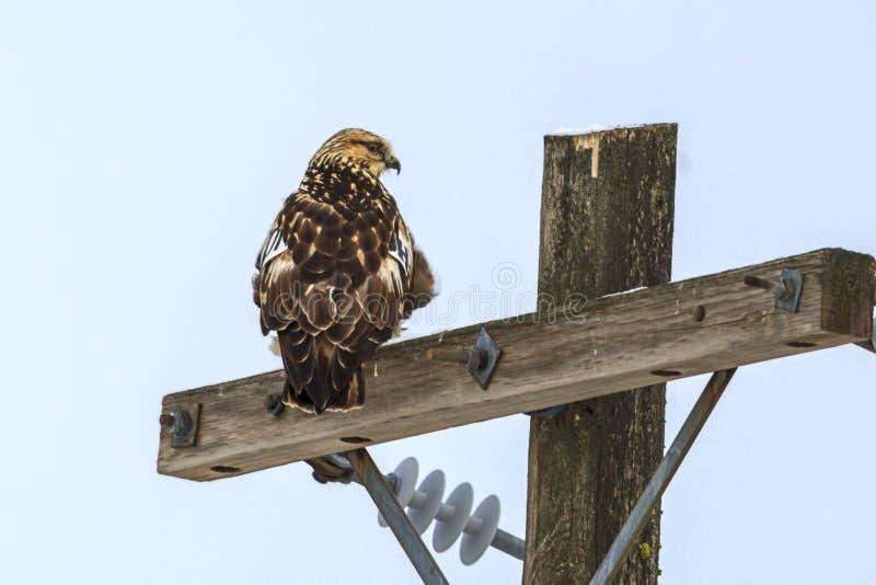在岗位的被栖息的鹰 库存照片