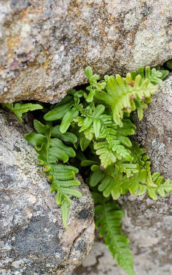 在岩石中的共同的水龙骨属植物 免版税库存图片
