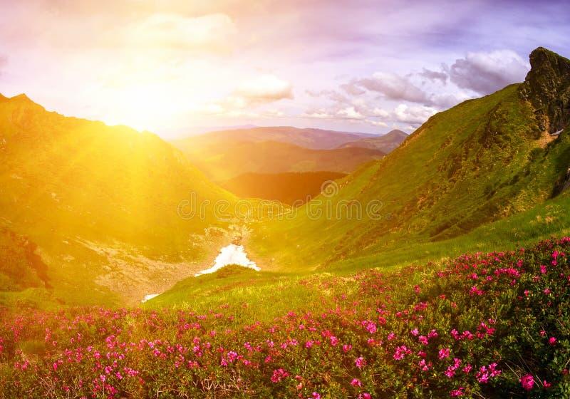 在岩石中的野花 杜鹃花myrtifolium Maramorosh 免版税库存图片