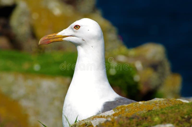 在岩石中的鸥-五月岛 免版税库存照片