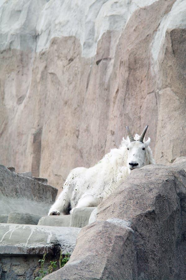 在岩石和峭壁之中的石山羊 库存图片