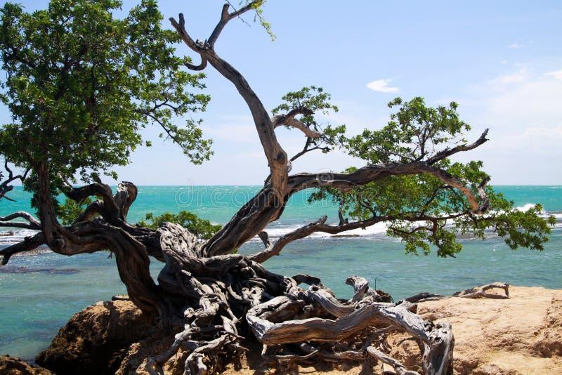 在岩石地面的扭转的弯曲的树在有波浪白色泡沫的-牙买加绿松石狂放的海洋前面 库存照片