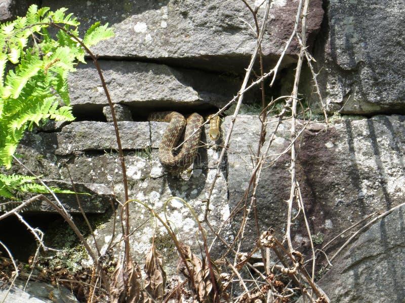 在岩石墙壁上的蛇 图库摄影