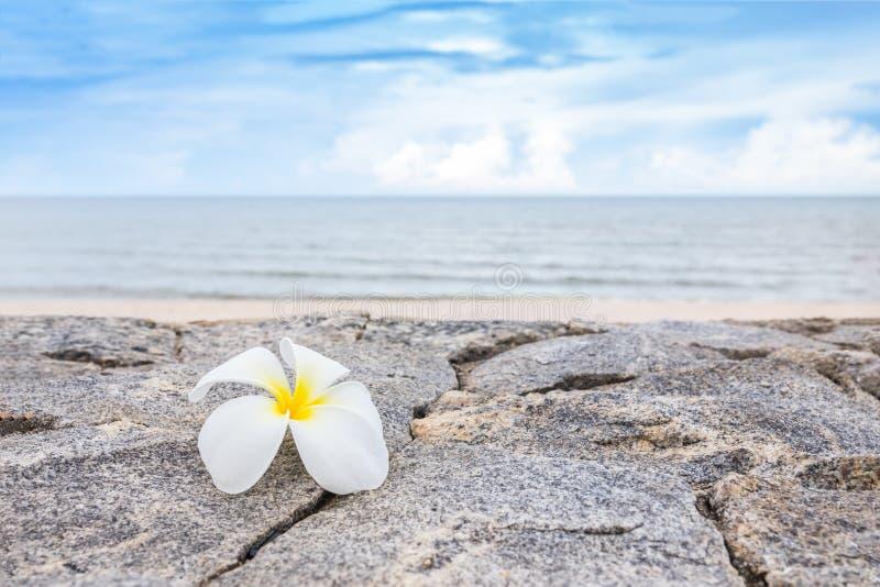 在岩石墙壁上的赤素馨花或羽毛花有beautifu的 免版税库存照片