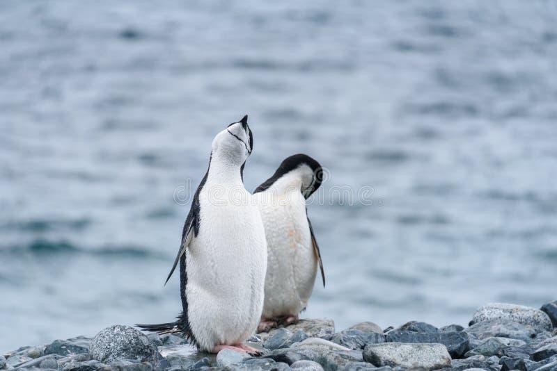 在岩石岸的两只Chinstrap企鹅反对水背景,半月岛,南极洲 免版税图库摄影