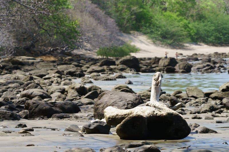 在岩石岸的漂流木头 库存图片