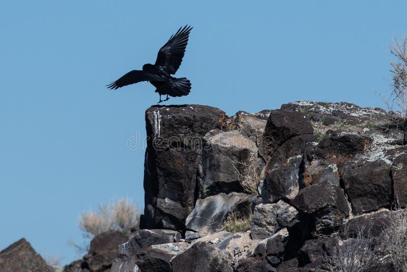 在岩石峡谷壁架的共同的黑掠夺着陆 免版税图库摄影