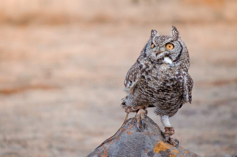 在岩石栖息的非洲被察觉的猫头鹰africanus腹股沟淋巴肿块在鸷展示,南非 免版税库存图片
