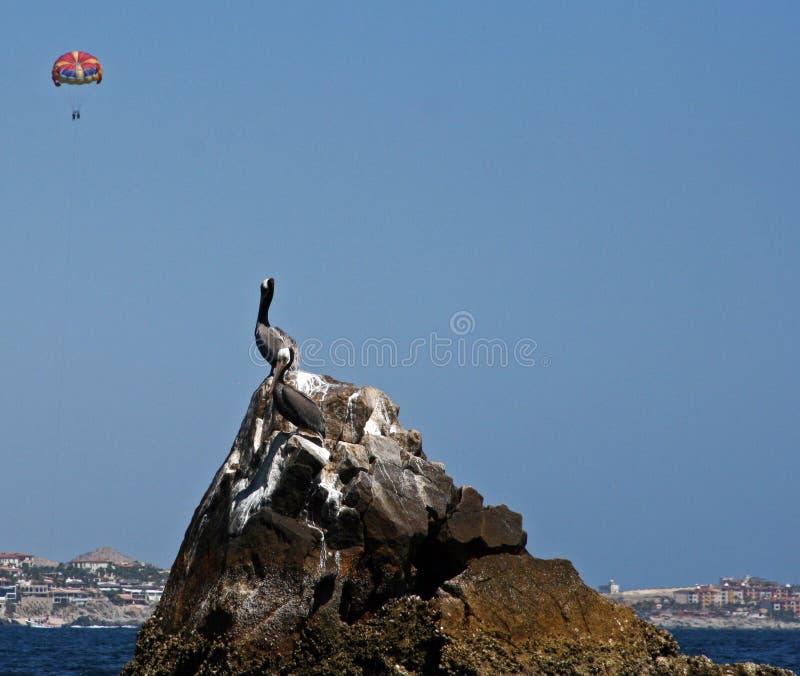 在岩石栖息的鹈鹕在Cabo圣卢卡斯港口在Los卡约埃尔考斯(土地末端)附近在巴哈墨西哥有parasailor的(parasai 库存照片