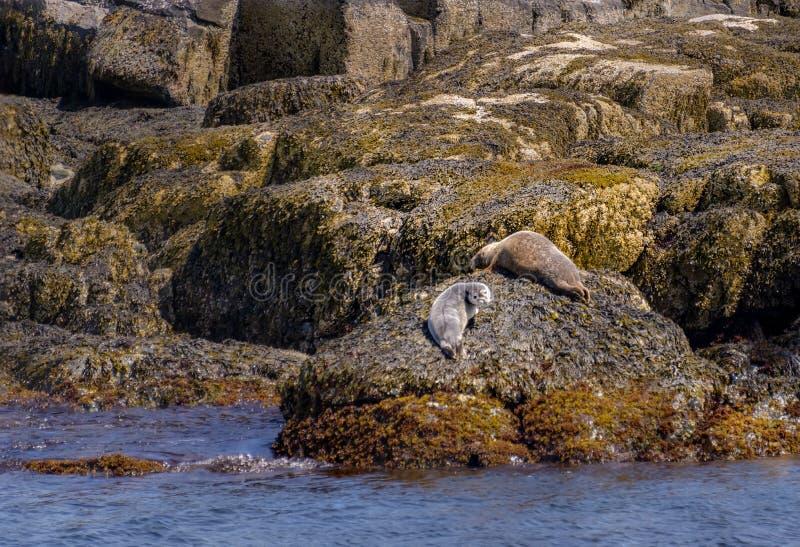 在岩石海岸的斑海豹家庭在缅因 库存照片