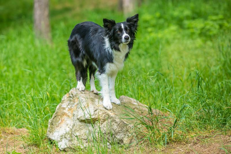 在岩石片断的可爱的年轻黑白博德牧羊犬狗身分  免版税库存图片