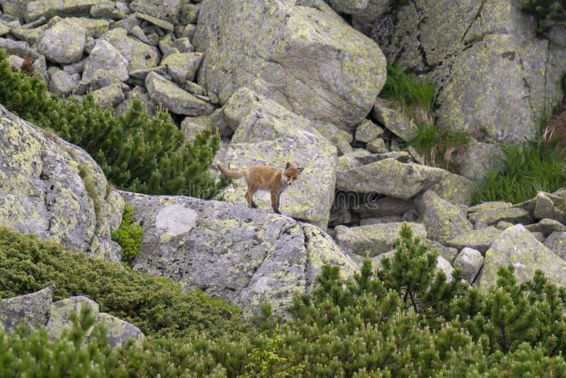 在岩石的一只幼小狐狸 Tatra山 斯洛伐克 免版税图库摄影