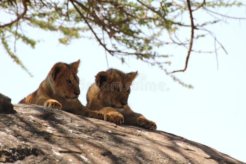 在岩石的两幼狮 免版税图库摄影