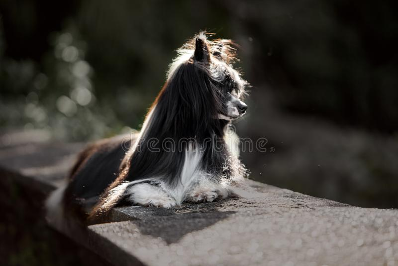 在岩石的中国有顶饰狗 背景的绿色公园 图库摄影