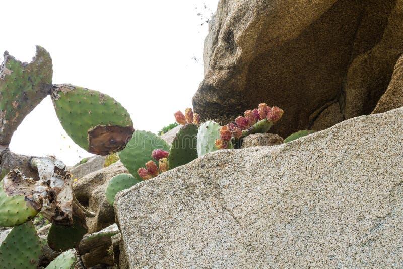 在岩石的仙人掌 库存照片