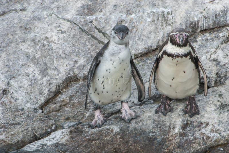 在岩石的企鹅夫妇 免版税图库摄影