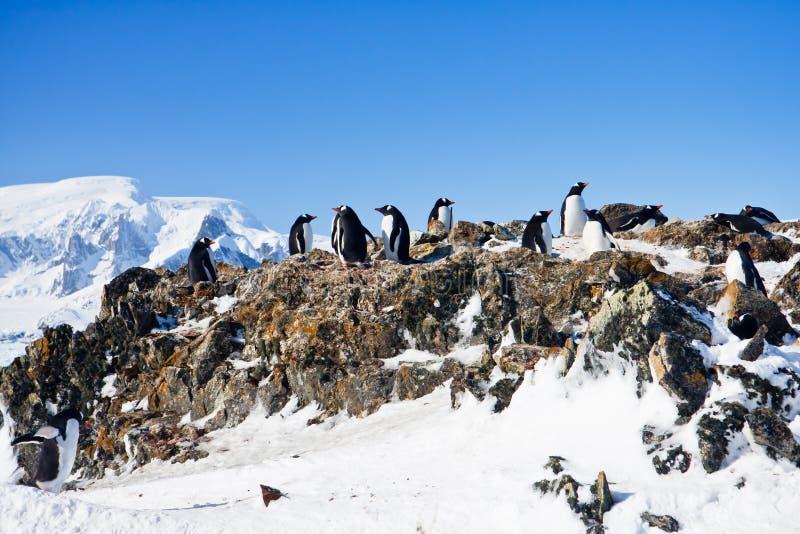 在岩石的企鹅 免版税库存照片