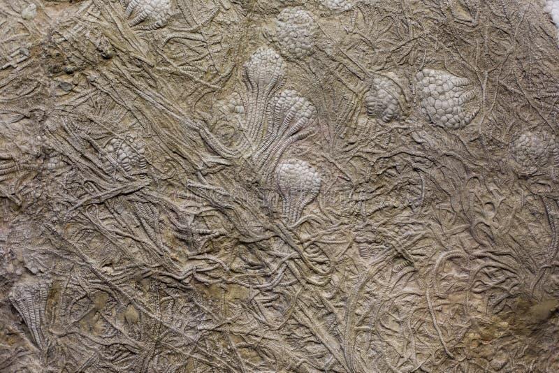 在岩石的化石 库存照片