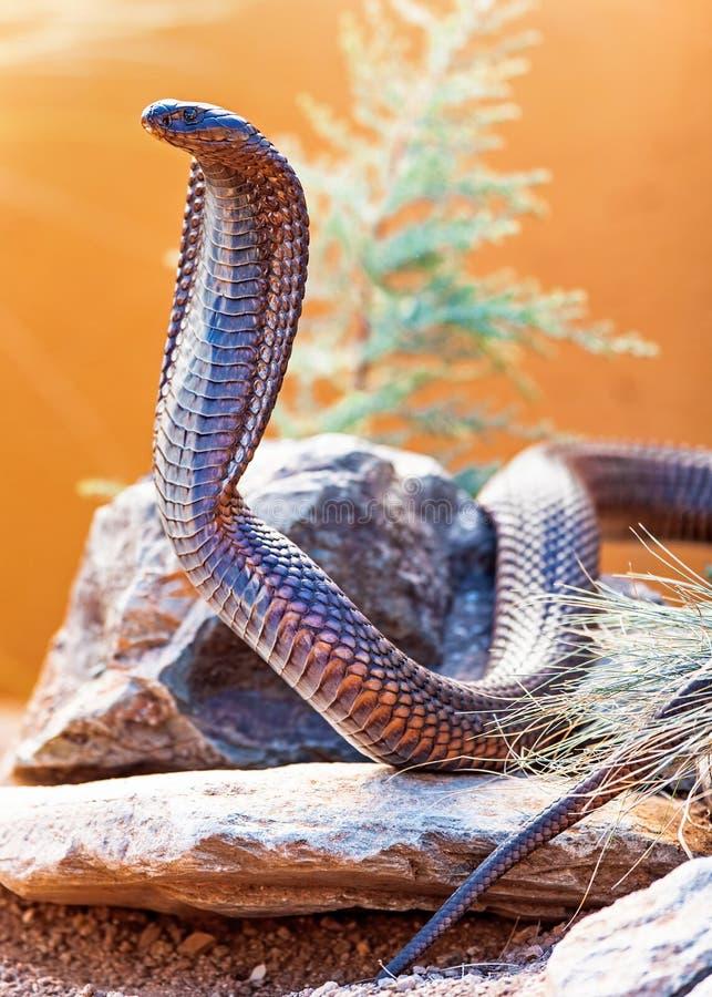 在岩石的危险眼镜蛇 库存图片