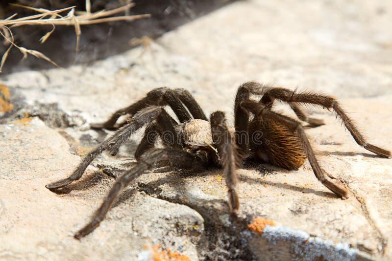 在岩石的塔兰图拉毒蛛 库存图片