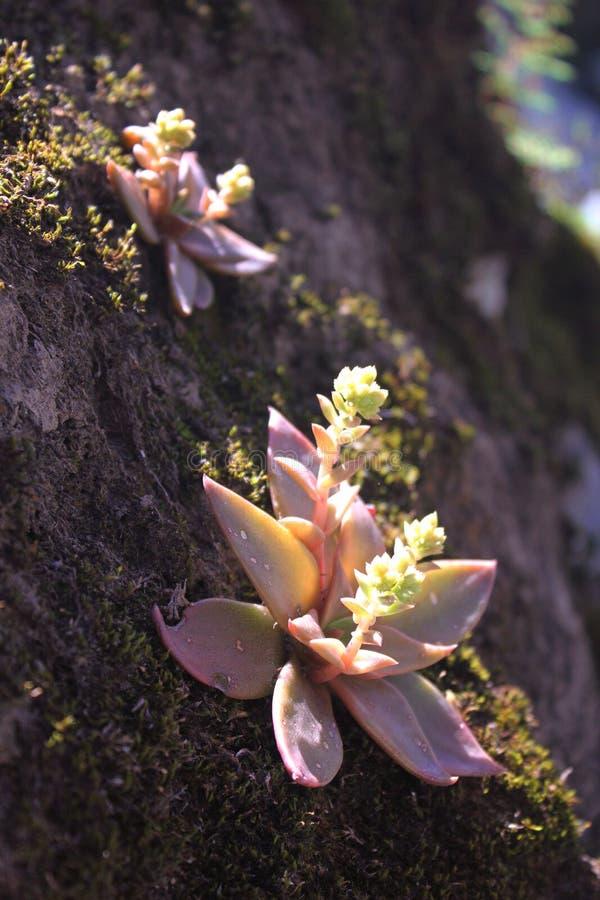 在岩石的多汁植物 库存照片