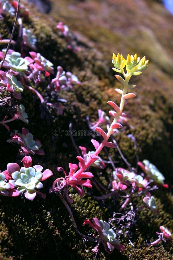 在岩石的多汁植物 免版税库存照片