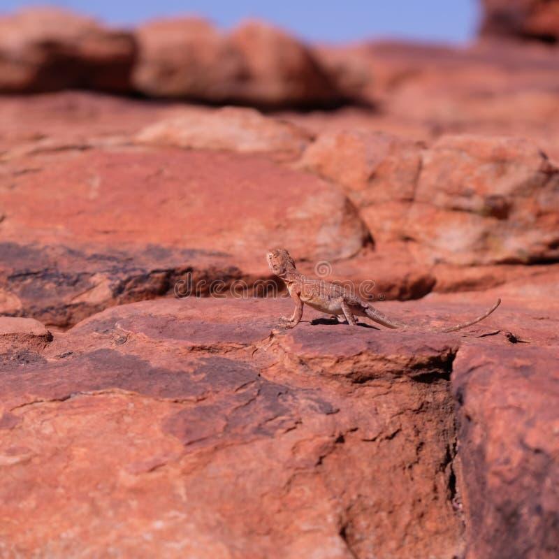 在岩石的尾部有环纹的龙蜥蜴在澳大利亚西部 免版税图库摄影