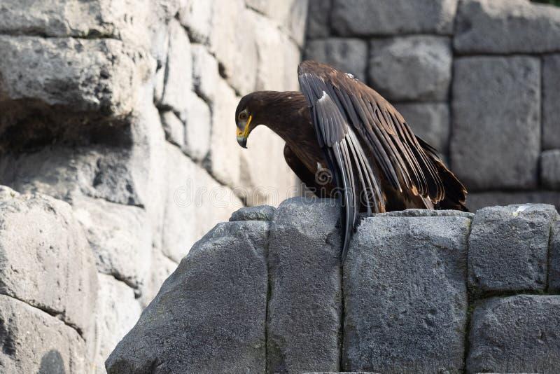 在岩石的布朗老鹰 库存照片