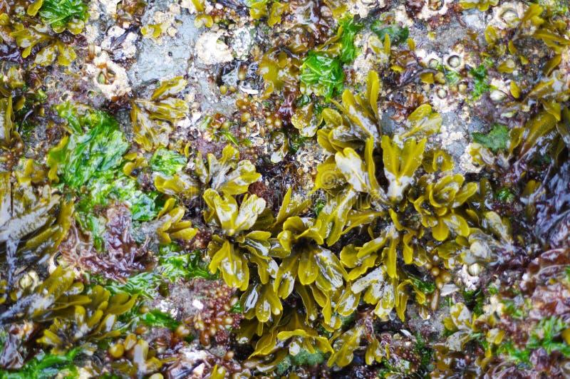 在岩石的机器寿命在太平洋附近 库存图片