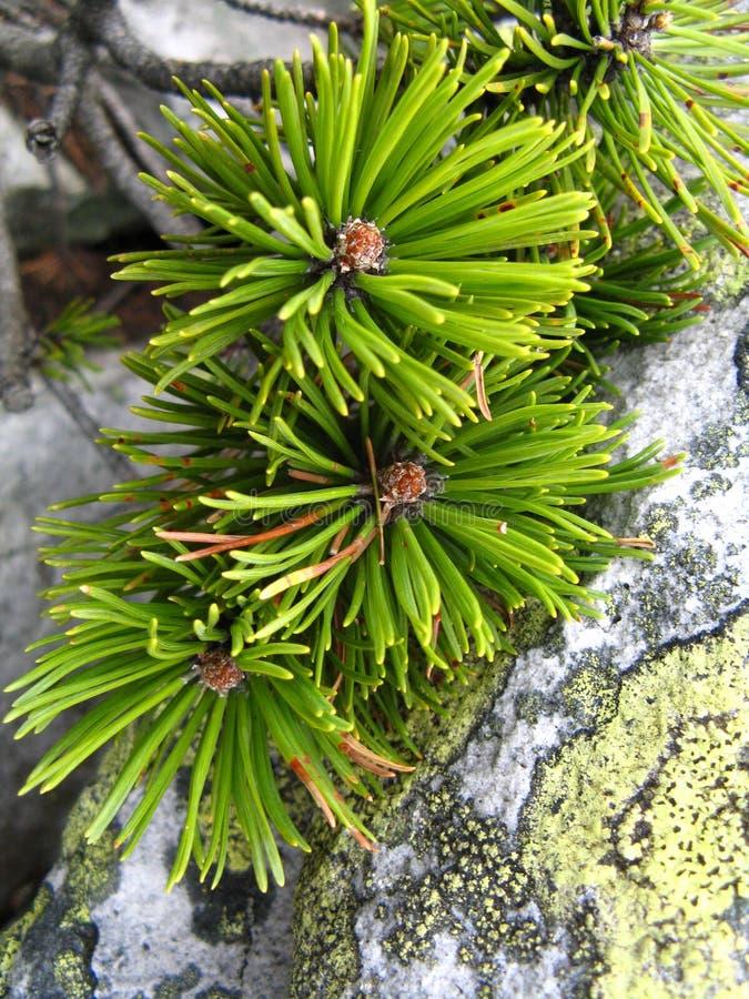 在岩石的杉木分支 库存图片