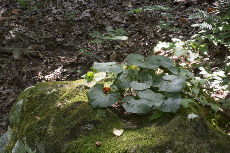 在岩石的植物生长 免版税库存图片