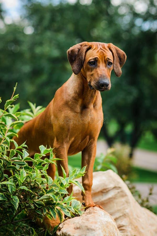 在岩石的殷勤Rhodesian Ridgeback狗身分在美好的风景 图库摄影
