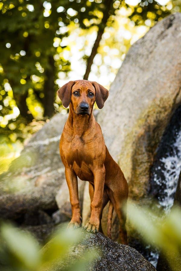 在岩石的殷勤Rhodesian Ridgeback男性狗身分在美好的风景 库存照片