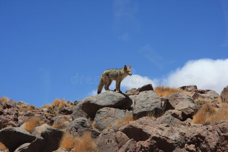 在岩石的沙漠狐狸 免版税库存图片