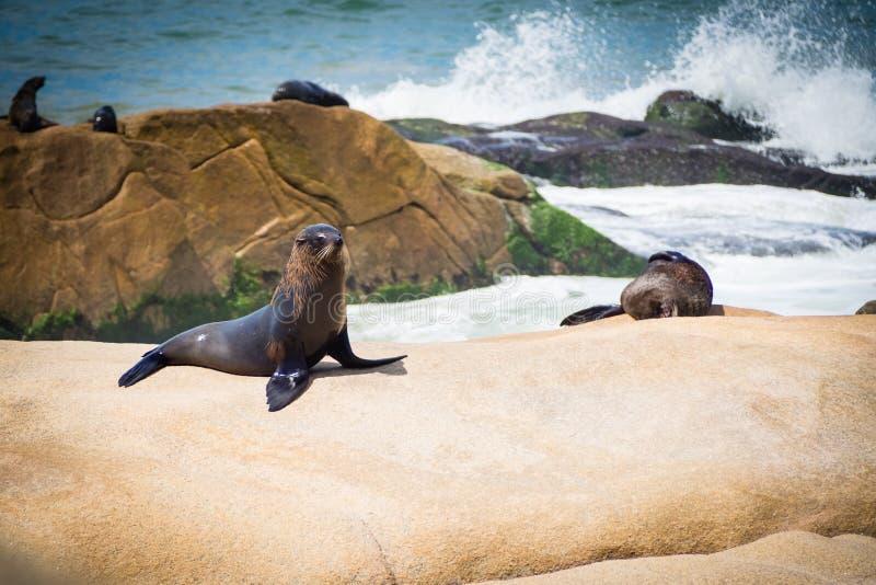 在岩石的海狼在Cabo Polonio,乌拉圭的海岸 免版税库存照片