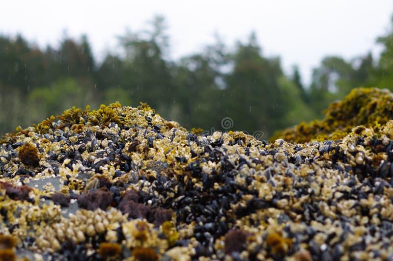 在岩石的海草由海洋用淡菜 库存照片